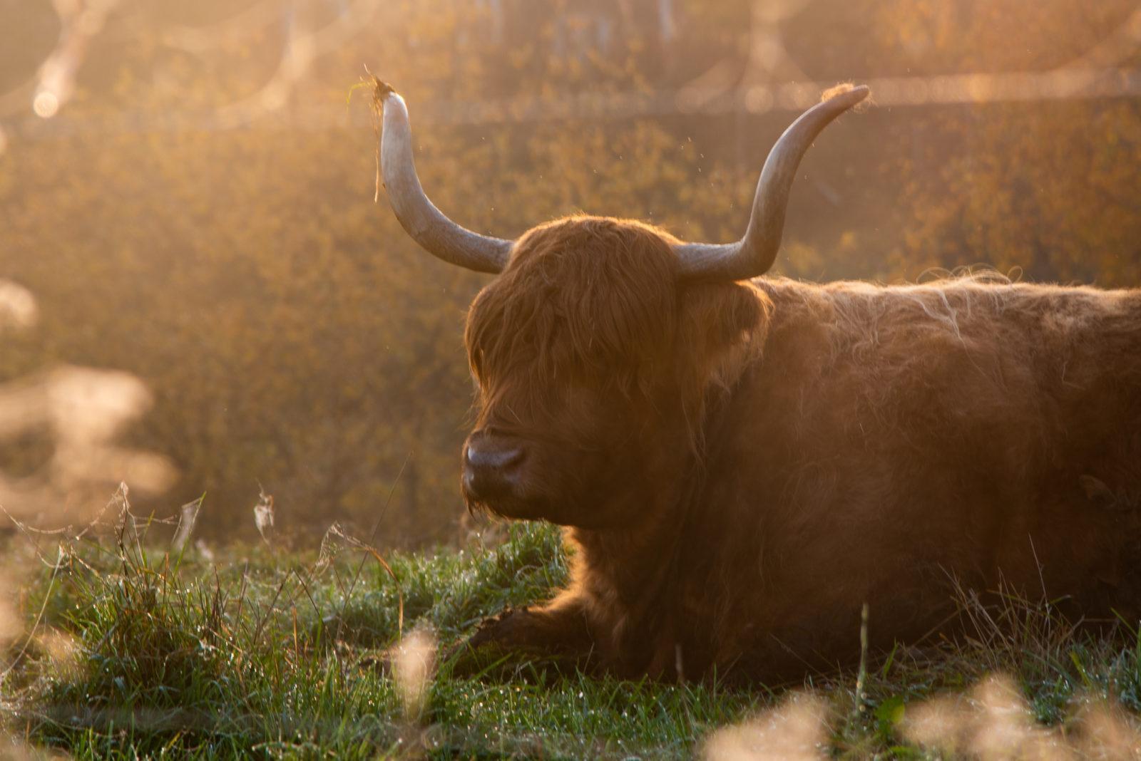 Aamun auringonnousussa ylämaankarjan lehmä makaa laitumella.