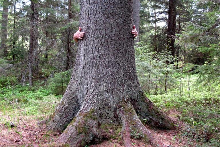 Pässinrämäkän kuuset ovat niin jykeviä, ettei ihmisen kädet yllä kuin puoliväliin. Kuvassa iso kuusi ja ihmisen kädet halamassa puuta.