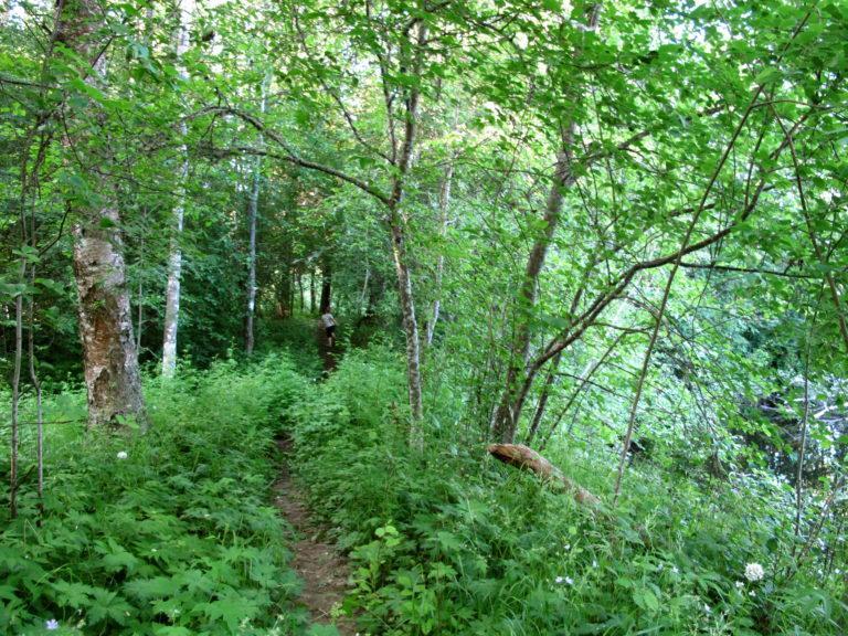 Kaarelan puistossa näkee hienoja lehtomaisemia. Kuvassa pieni polku vehreässä kasvustossa.