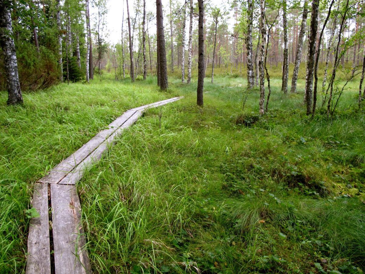 Pitkospuut soisessa metsässä.