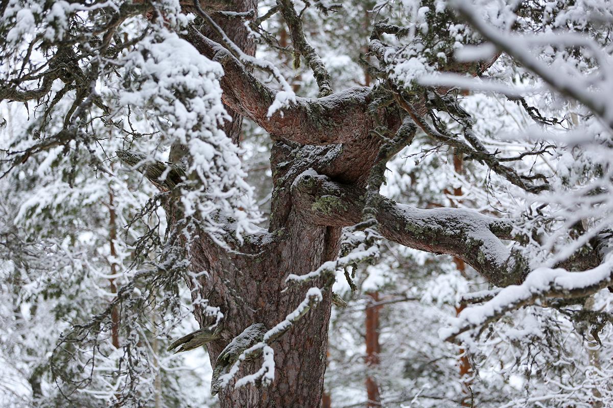 Teuvan vanhin puu talvisessa ulkoasussaan. Lähikuvassa männyn runko ja lumiset oksat.