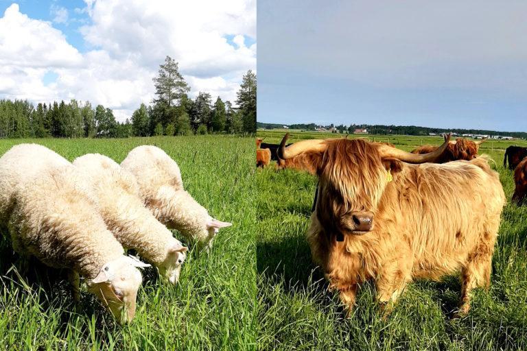 Kuvakollaasissa lampaita ja ylämaankarjaa.