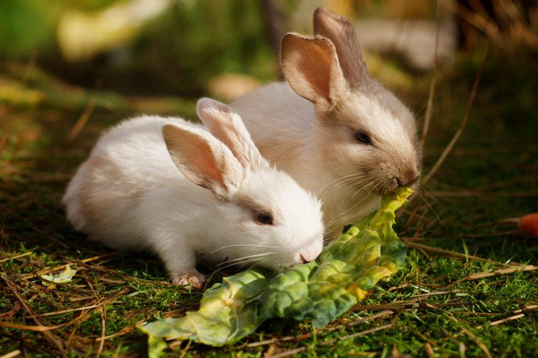 Kaksi vaalean väristä kania syövät salaatinlehteä.