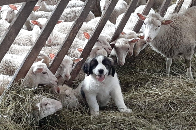 Kuvassa keskellä heinäkarsinassa istuu koiranpentu, jonka takana on kymmeniä valkoisia lampaita.
