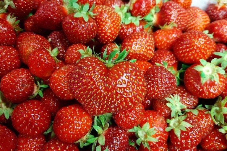 Kuvassa kypsät punaiset mansikkat.