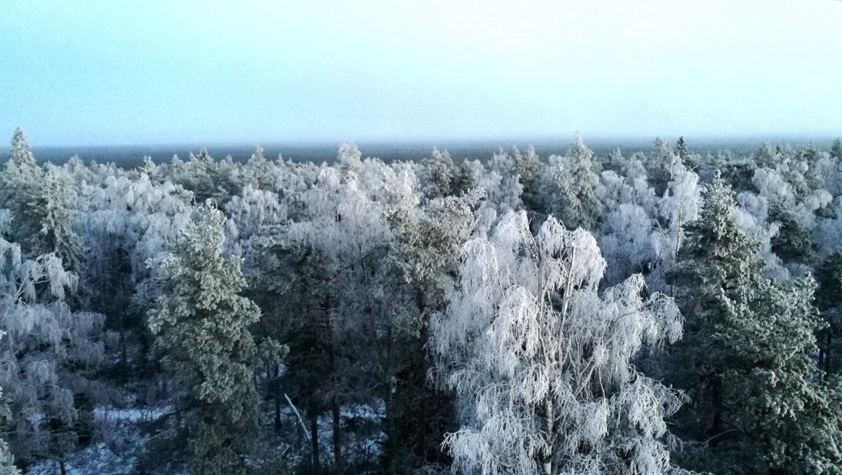 Kuurainen metsänäkymä Lauhanvuoren näkötornin huipulta.