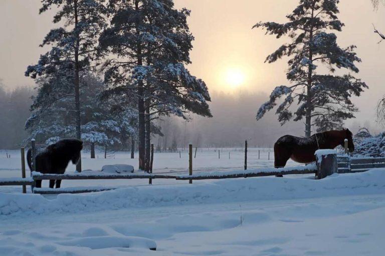 Talvisessa kuvassa aamuauringossa seisoo kaksi hevosta.