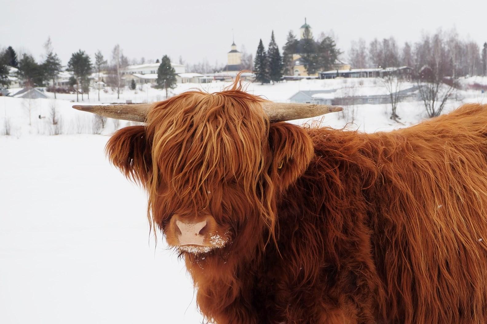 Highlad rodun punaruskea nauta talvisessa kuvassa.