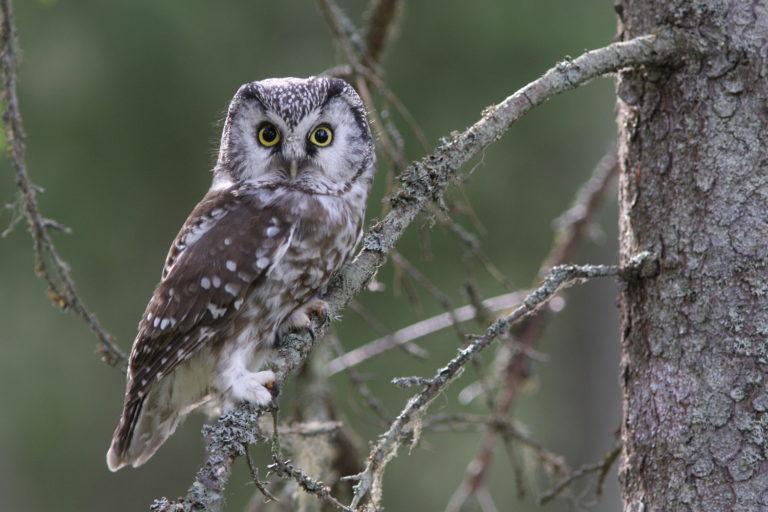 Kuvassa pöllö istuu kuusen oksalla ja katsoo suoraan kameraan.