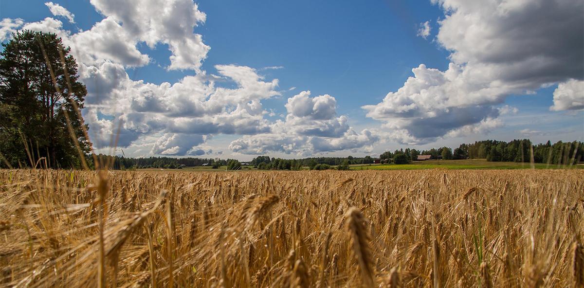Kesäinen viljapeltokuva, sininen puolipilvinen taivas.